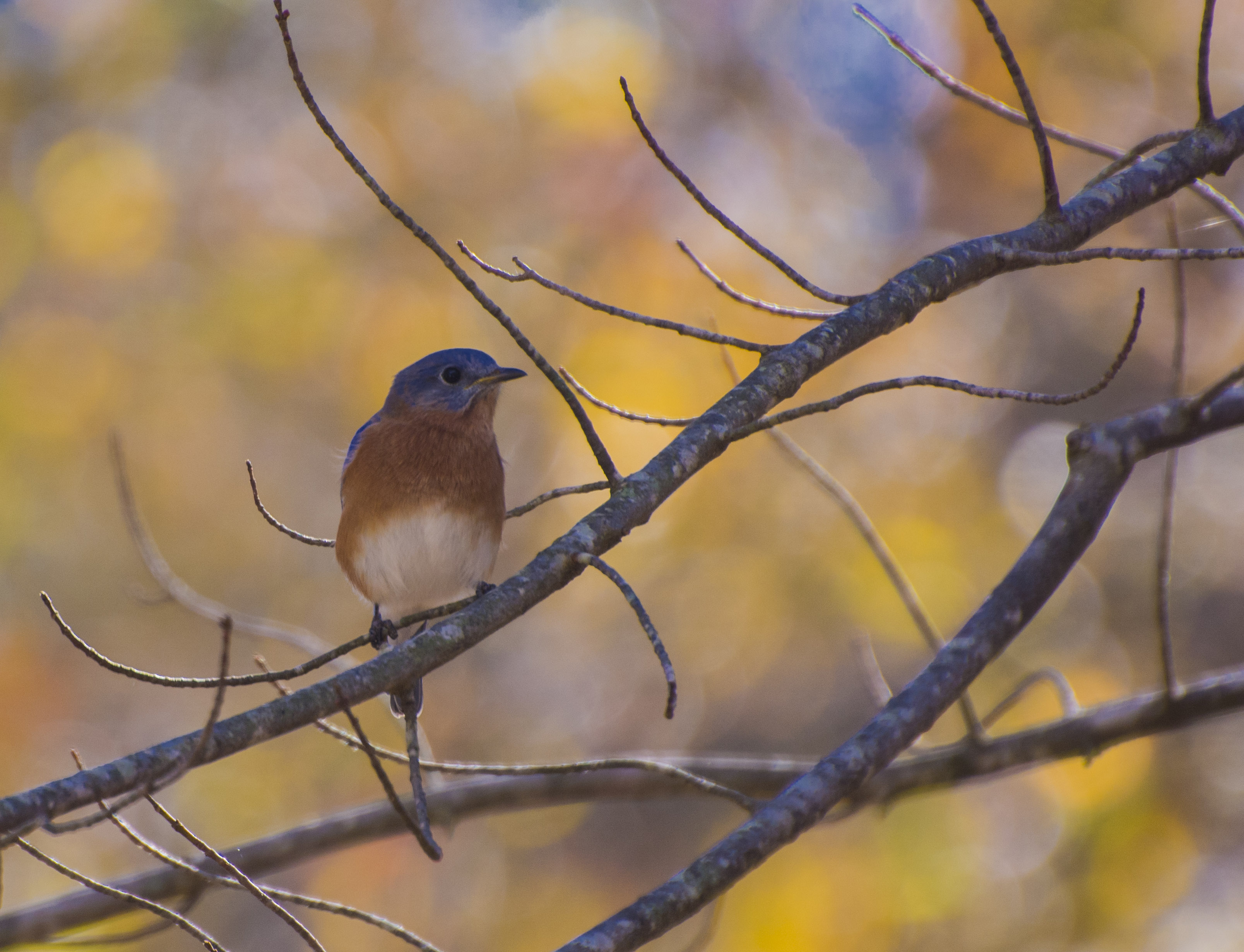 An Eastern Bluebird ...