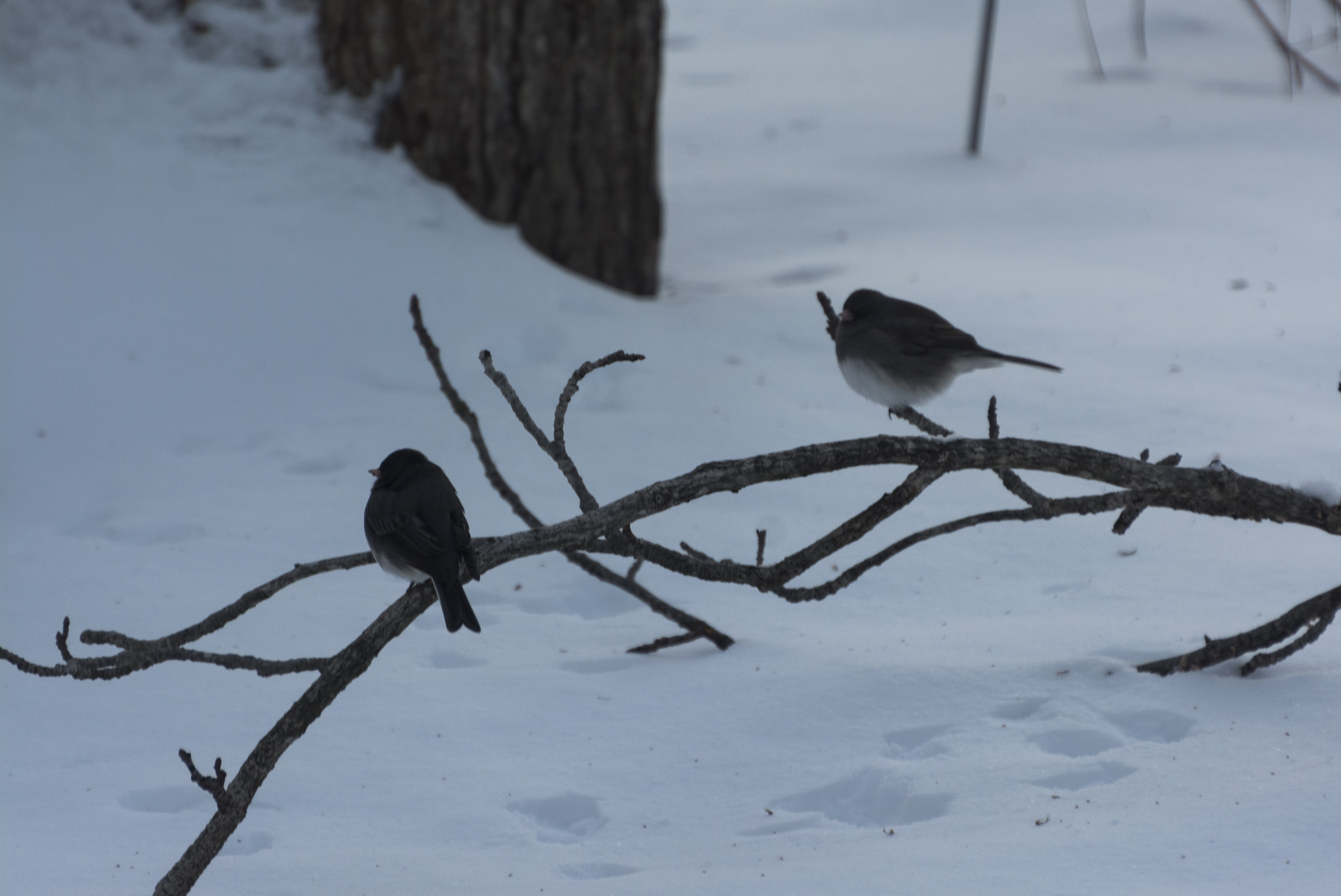 Puffed up Juncos ...