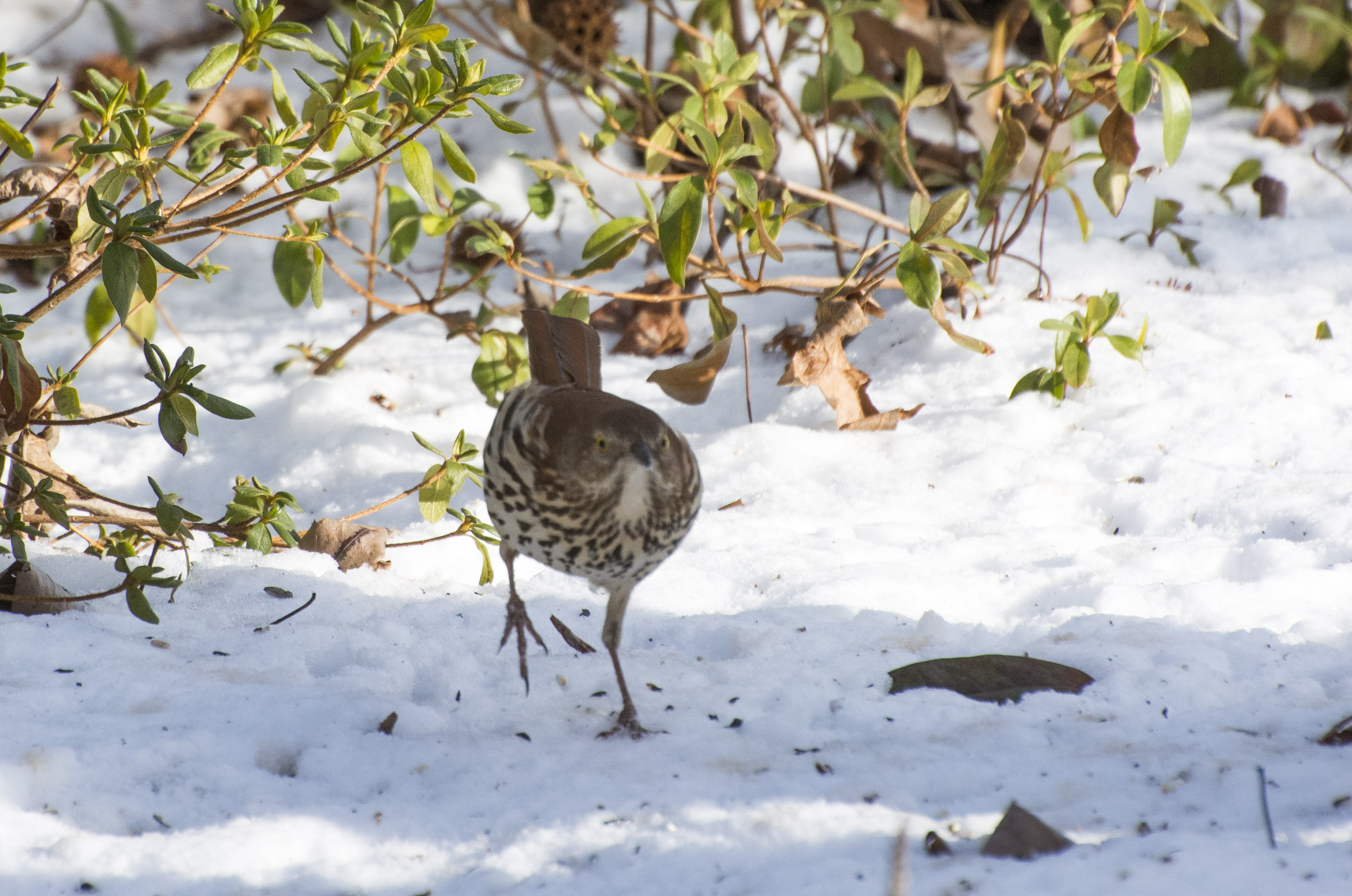 The brown thrasher ...
