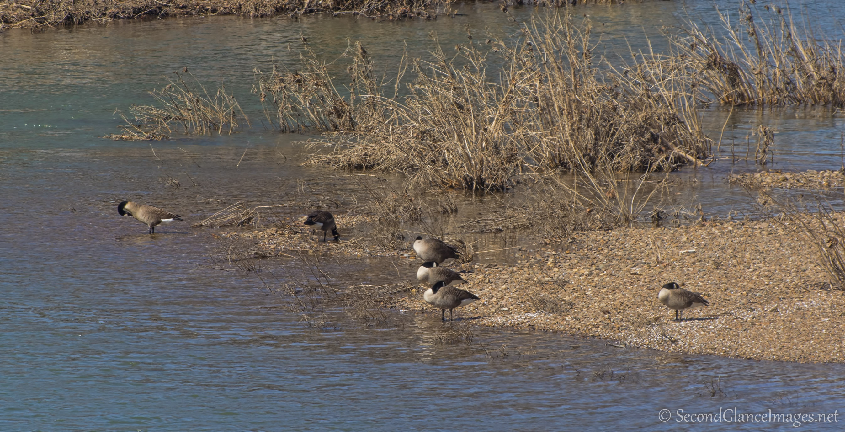 Geese on the Potomac ...