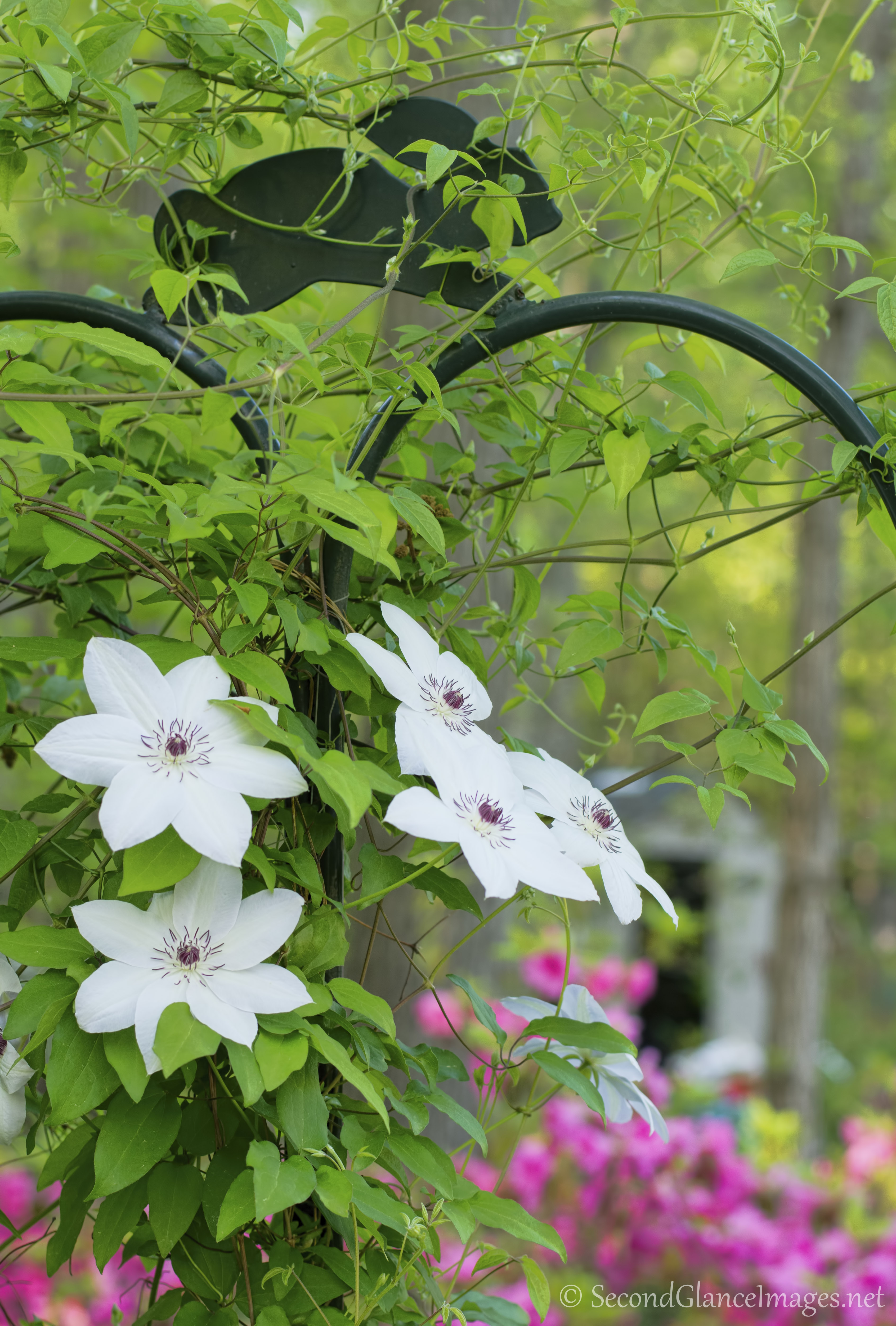 More of the white clematis ...