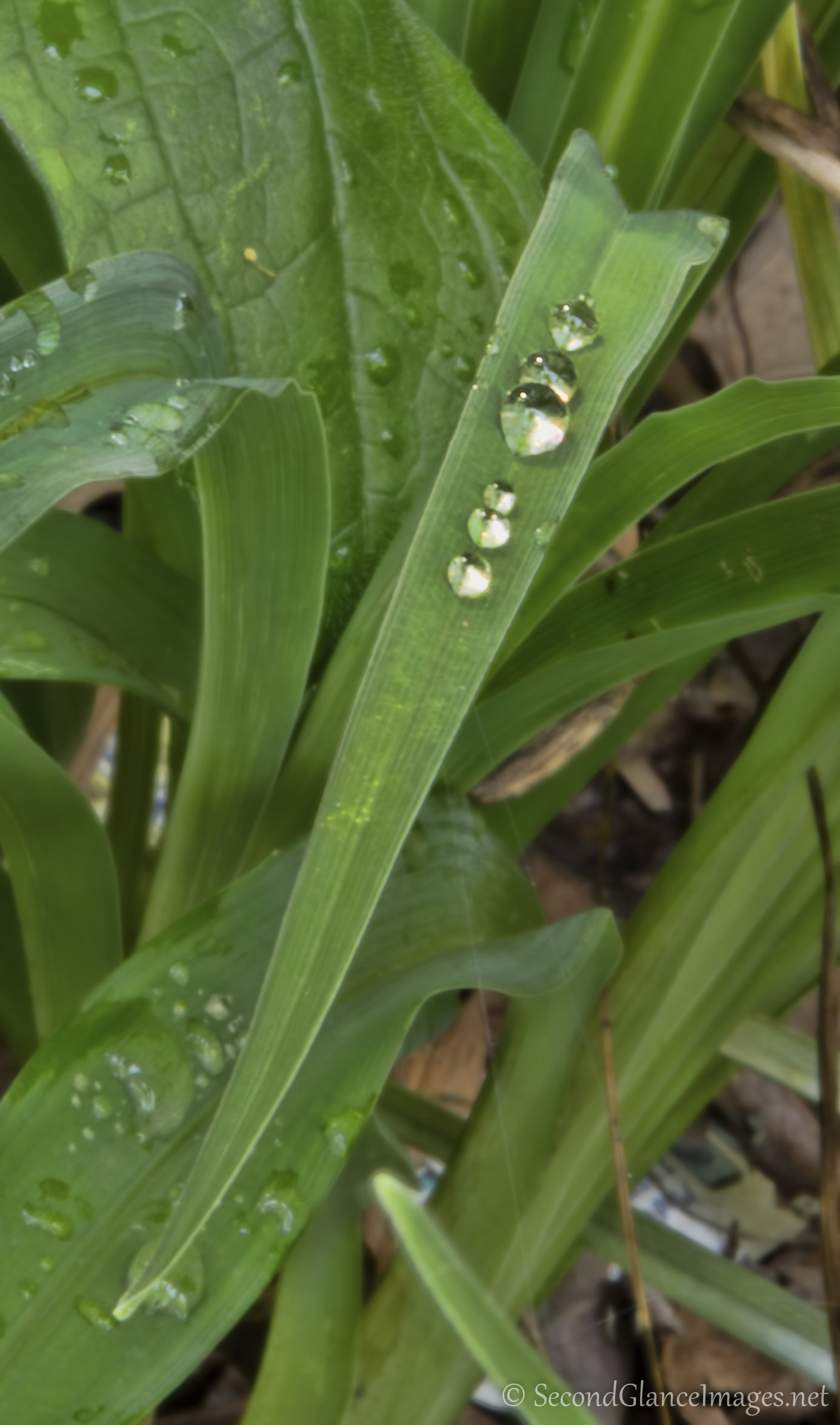 Raindrops on daylilies ...