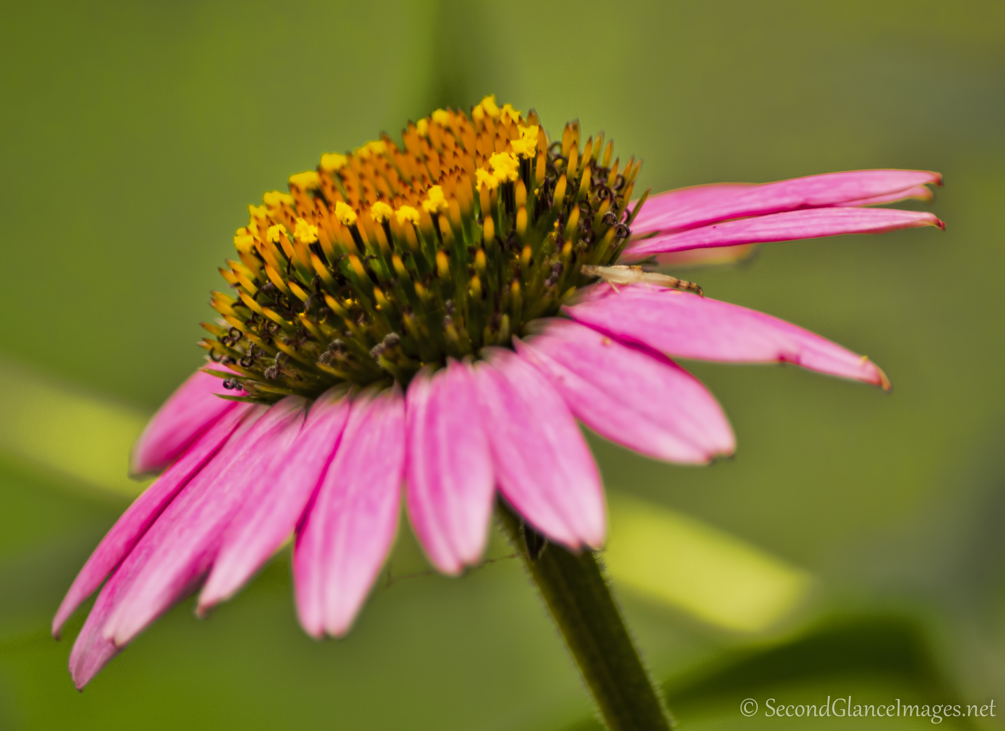 Another purple coneflower ...