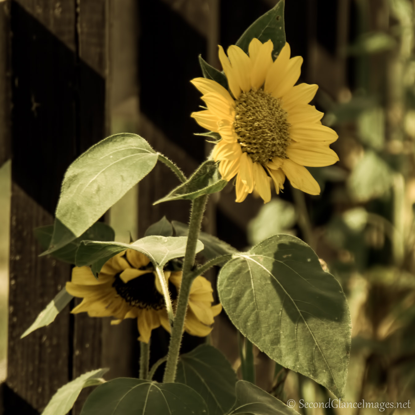 Another sunflower ...