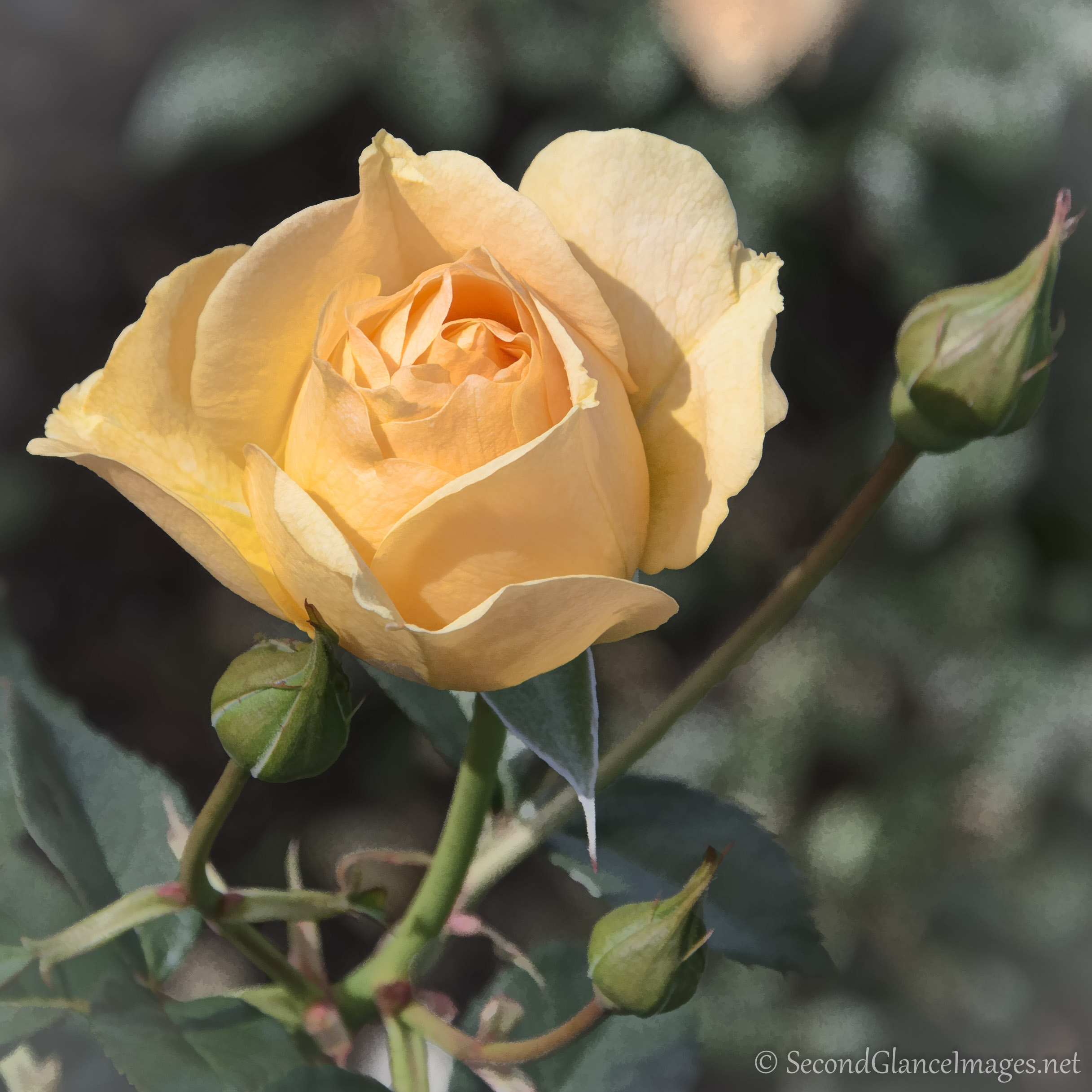 I have always loved yellow roses ...